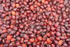 Šípky plody sušené